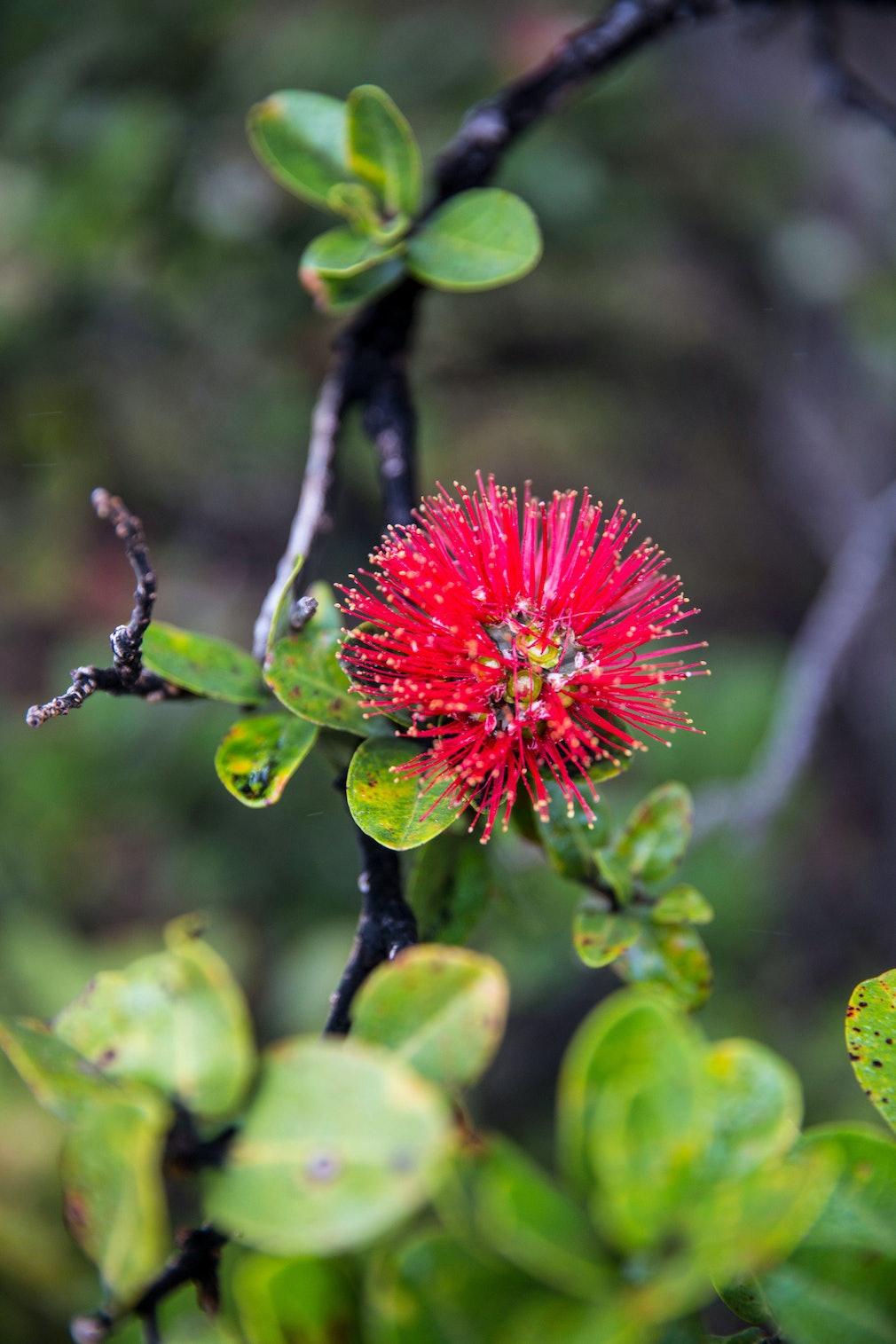 Ohia Rapid Death Killing Native Hawaiian Trees Kent Nishimura